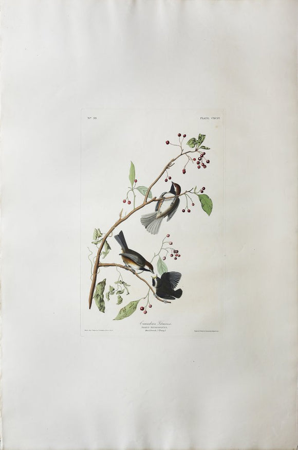 John James Audubon (1785-1851), Plate CXCIV Canadian Titmouse