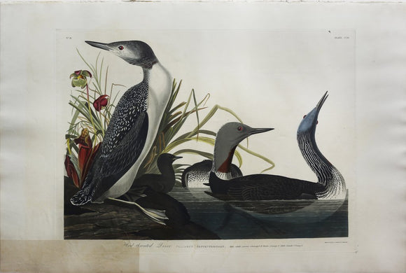 John James Audubon (1785-1851), Plate CCII Red-Throated Diver