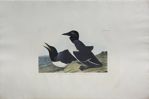 John James Audubon (1785-1851), Plate CCXVIII Foolish Guillemot