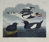 John James Audubon (1785-1851), Plate CCXIX Black Guillemot