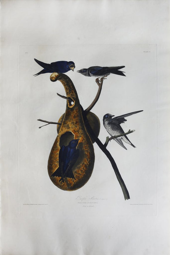 John James Audubon (1785-1851), Plate XXII Purple Martin