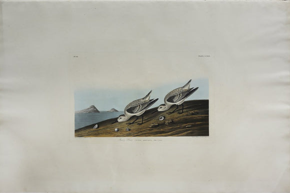 John James Audubon (1785-1851), Plate CCXXX Sanderling