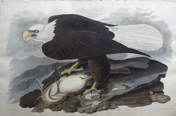 John James Audubon (1785-1851), Plate XXXI White-headed Eagle