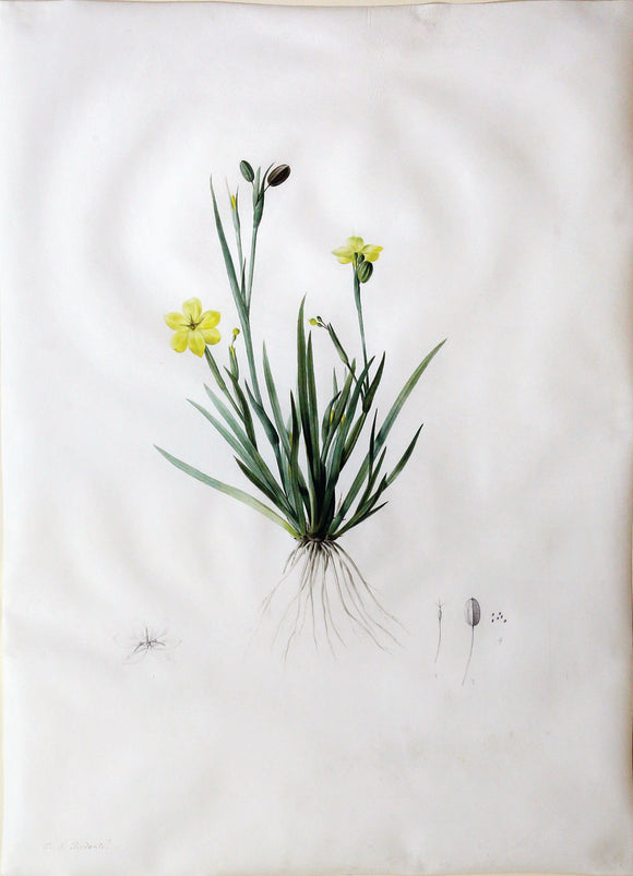 redout-pierre-joseph-1759-1840-superb-original-watercolour-of-golden-eyed-grass-paris-ca-1802