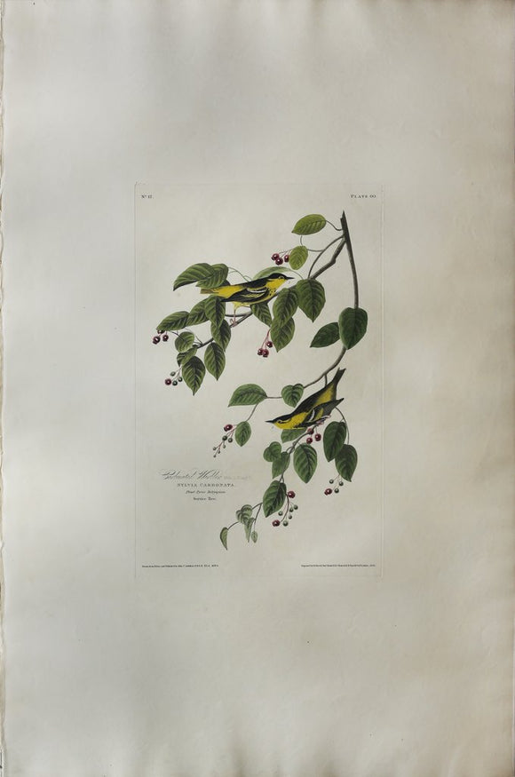 John James Audubon (1785-1851), Plate LX  Carbonated Warbler