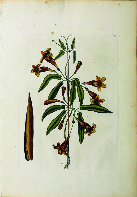 CATESBY, Mark (1683 – 1749) Vol.II, Tab. 82, Bignonia Americana