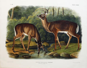 Common or Virginian Deer, Plate 136.