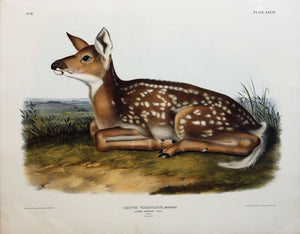 Common American Deer (Fawn), Plate 81.