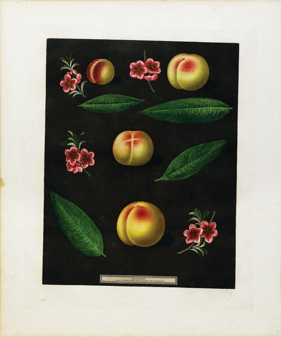 George Brookshaw (1751-1823) Peaches and Nectarines, Plate XXIV (24)