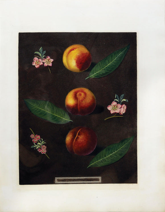 George Brookshaw (1751-1823) Peaches, Plate XXIX (29).