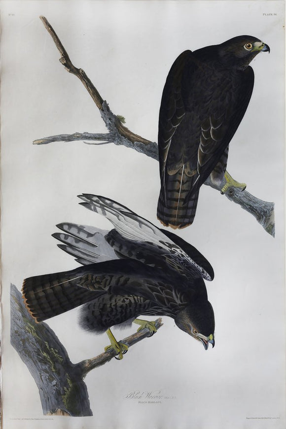 John James Audubon (1785-1851), Plate LXXXVI Black Warrior