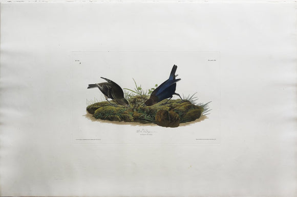 John James Audubon (1785-1851), Plate XCIX Cow-pen Bird