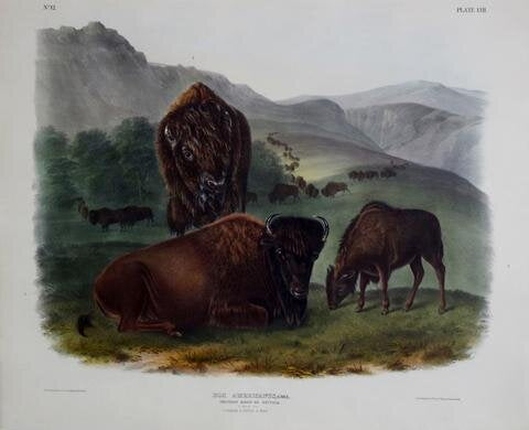 American Bison or Buffalo Pl. LVII