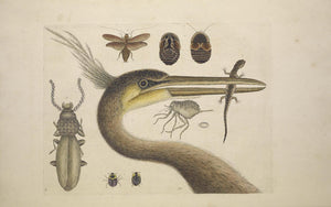 CATESBY, Mark (1683-1749) Appendix Pl. 10, The Largest Crested Heron