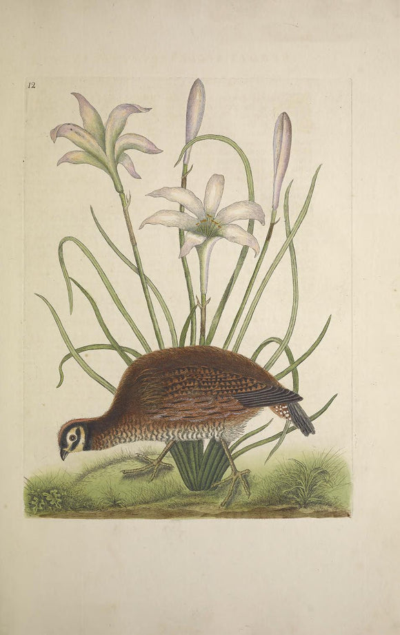 CATESBY, Mark (1683-1749) Appendix Pl. 12, The American Partridge, The Attamusco Lily