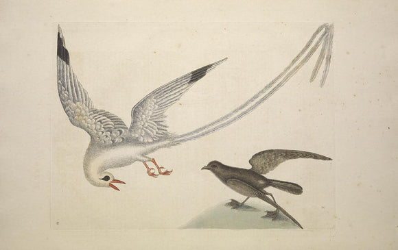 CATESBY, Mark (1683-1749) Appendix Pl. 14, The Tropick Bird, The Storm-Finck or Pittrel