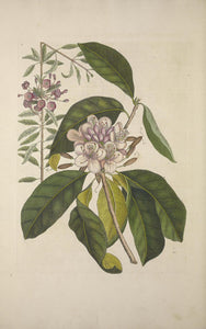 CATESBY, Mark (1683-1749) Appendix Pl. 17, Great Laurel