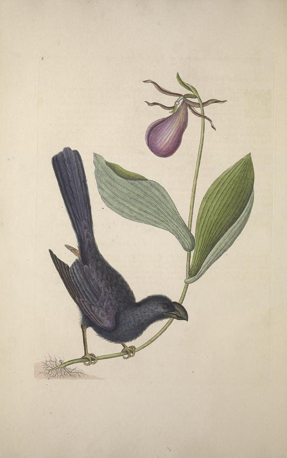 CATESBY, Mark (1683-1749) Appendix Pl. 3, The Razor-billed Black-bird of Jamaica, Moccasin flower