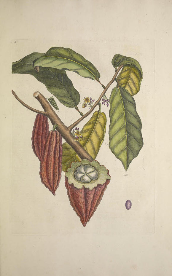 CATESBY, Mark (1683-1749) Appendix Pl. 6, The Cacao Tree