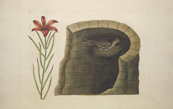 CATESBY, Mark (1683-1749) Appendix Pl. 8, The American Swallow and lily