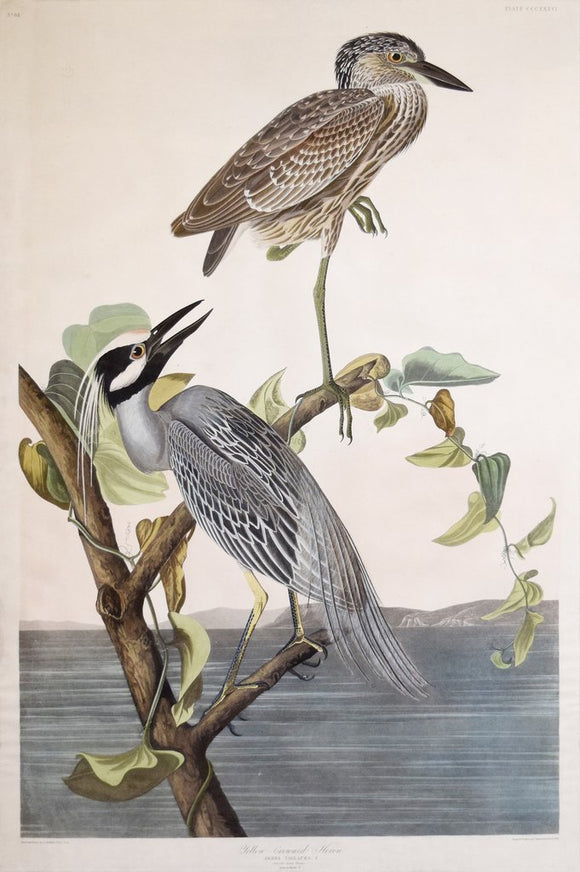 John James Audubon (1785-1851), Plate CCCXXXVI Yellow-Crowned Heron