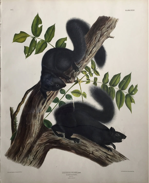 John James Audubon (1785-1851) Black Squirrel, Plate 34