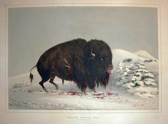 catlin-george-1796-1872-plate-no-16-wounded-buffalo-bull