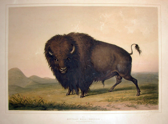catlin-george-1796-1872-plate-no-02-buffalo-bull-grazing