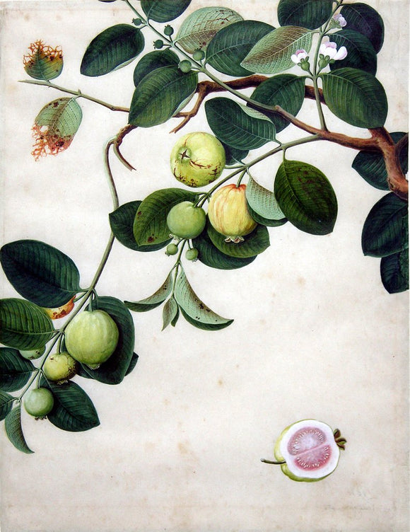 Chinese Export (late eighteenth-century), Guava