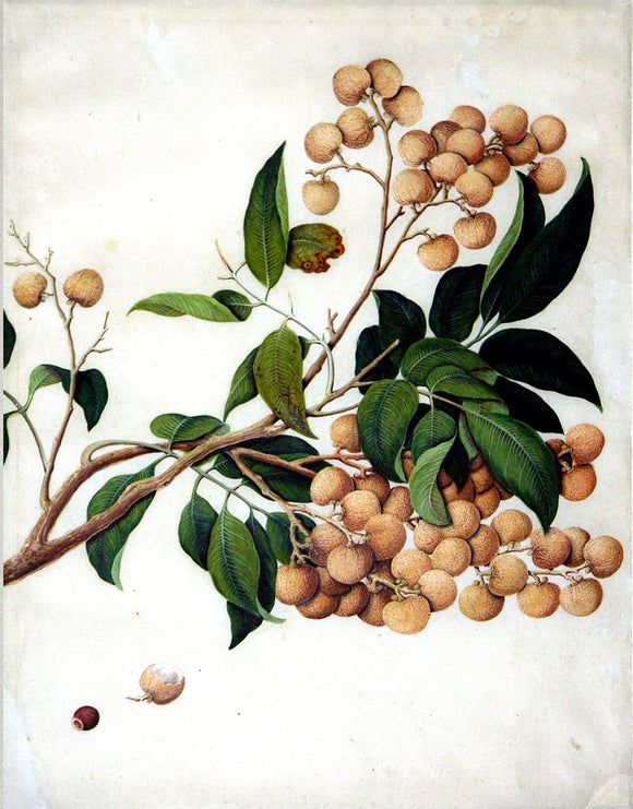 Chinese Export (late eighteenth-century), Lychee (Longan)
