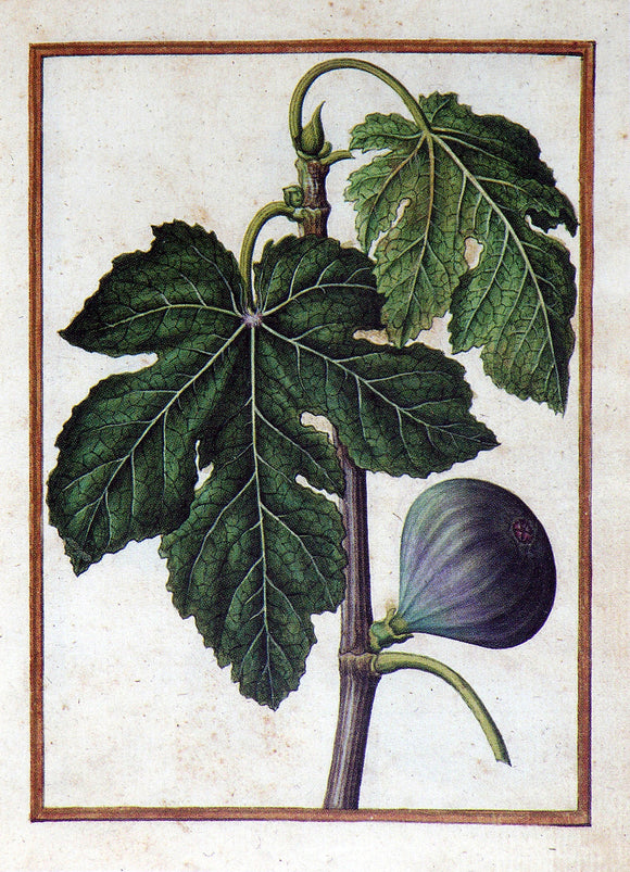 JACQUES LE MOYNE DE MORGUES (FRENCH, CA. 1533-1588) f.76: Common Fig Watercolor and gouache on paper prepared as vellum