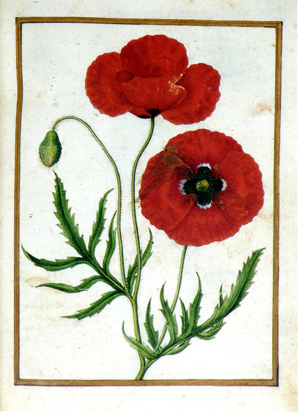 JACQUES LE MOYNE DE MORGUES (FRENCH, CA. 1533-1588) f. 19: Corn Poppy Watercolor and gouache on paper prepared as vellum
