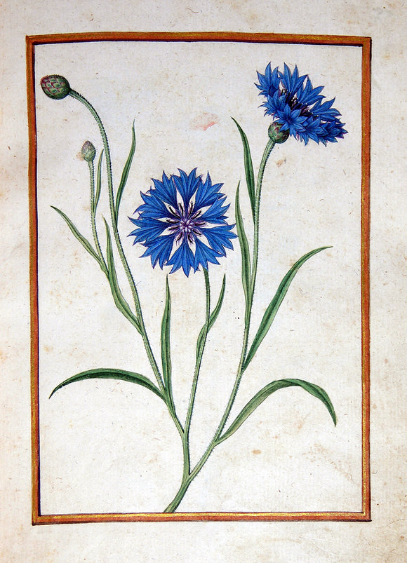 JACQUES LE MOYNE DE MORGUES (FRENCH, CA. 1533-1588) f.20: Cornflower Watercolor and gouache on paper prepared as vellum
