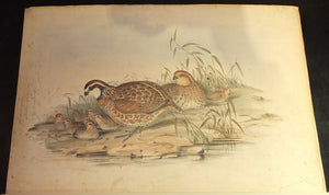 "GOULD, John (1804-1881). ""A Monograph of the Odontophorinae, or Partridges of America"" and ""Icones Avium"""