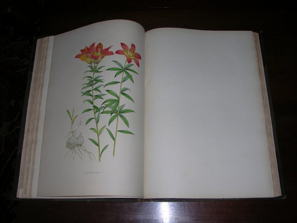 ELWES, John Henry (1846-1922). A Monograph of the Genus Lilium. London: Taylor & Francis, [1877]-1880.