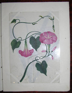 COMPANY SCHOOL. 12 FINE ORIGINAL GOUACHE DRAWINGS OF FLOWERS NATIVE TO INDIA. [ca. 1840-1860].
