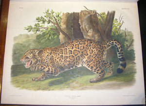 AUDUBON, John James (1785-1851) - John BACHMAN (1790-1875). The Viviparous Quadrupeds of North America. New York: J.J. Audubon - [V.G. Audubon], 1845-1848.