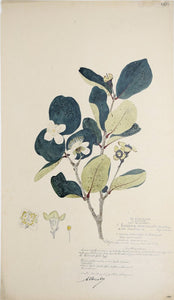 Alexander Descubes (Mauritian, born, ca. 1840-1920), 1423 Eugenia Orbiculata (No common name, part of the myrtle family)