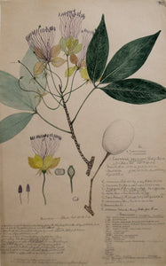Alexander Descubes (Mauritian, born, ca. 1840-1920), 300 Crateva Religiosa (Sacred garlic pear or temple plant) and Capparideae Capparzac (Caper shurb or caper bush)