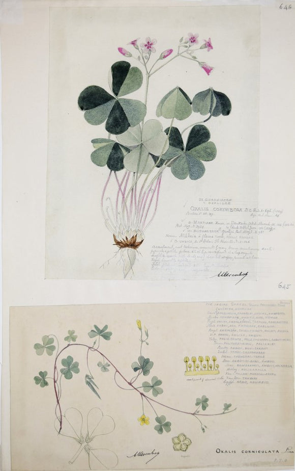 Alexander Descubes (Mauritian, born, ca. 1840-1920), 646 Oxalis Corymbosa (Pink woodsorrel) and Oxalis Corniculata (Creeping woodsorrel)
