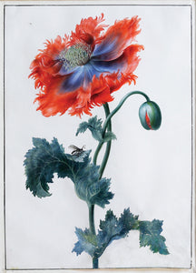 Dietzsch Gouache Watercolor Wild Poppy