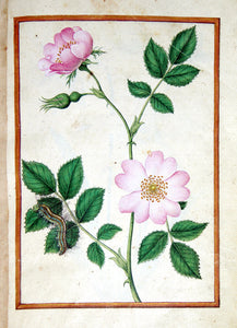 JACQUES LE MOYNE DE MORGUES (FRENCH, CA. 1533-1588) f.4: Dog Rose and caterpillar Watercolor and gouache on paper prepared as vellum
