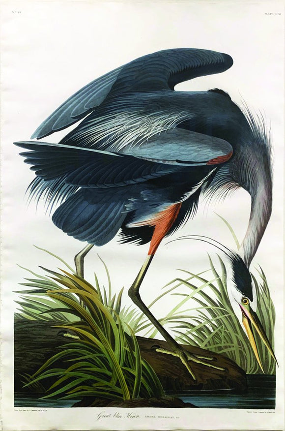 John James Audubon (1785-1851), Plate CCXI Great Blue Heron