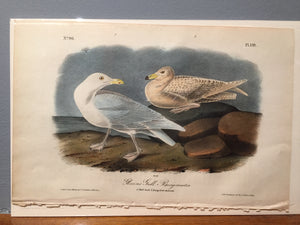 John James AUDUBON and William Hitchcock, Glaucous Gull Burgomaster (Plate 449), 1843-1844
