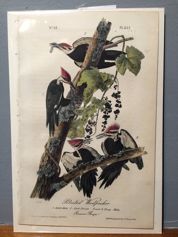 John James AUDUBON and William Hitchcock, Pileated Woodpecker (Plate 257), 1843-1844