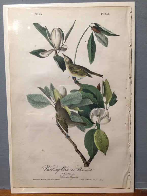 John James AUDUBON and William Hitchcock, Warbling Vireo or Greenlet (Plate 241), 1843-1844