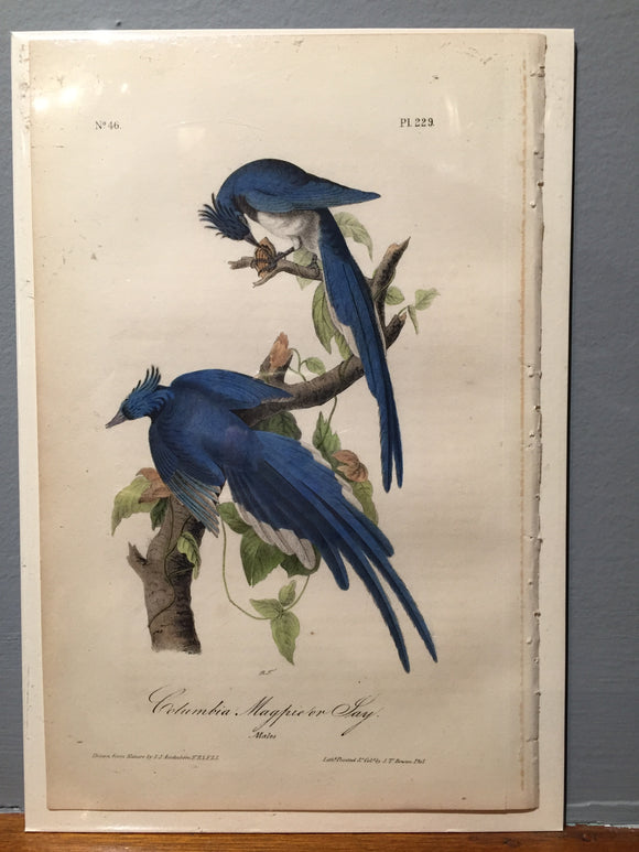 John James AUDUBON and William Hitchcock, Columbia Magpie or Jay (Plate 229), 1843-1844