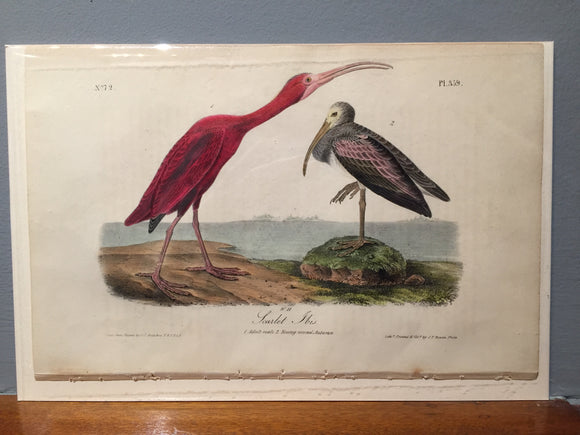 John James AUDUBON and William Hitchcock, Scarlet Ibis (Plate 359), 1843-1844