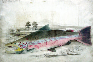 Sir William Jardine (Scottish, 1800-1874) British Salmonidae