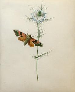 JOHANNA HELENA HEROLT GRAFF (GERMAN, 1668 - AFTER 1702) Love-in-a-mist with a Lime Hawkmoth Watercolor